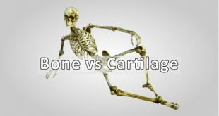 Bone vs Cartilage Difference Betwen